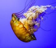 Ortie de mer Photos libres de droits