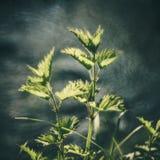 Ortie et nature sauvage Image libre de droits