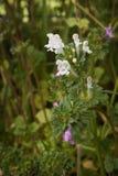 Ortie morte blanche fleurissante de Henbit Image stock