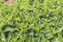 Ortiga con las hojas verdes mullidas temprano Planta de la ortiga del fondo que crece en la tierra imagenes de archivo