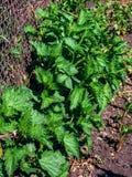 Ortiga de los jóvenes en jardín en césped natural Cierre para arriba Medicina sana una hierba para el té de la infusión de la pre Foto de archivo