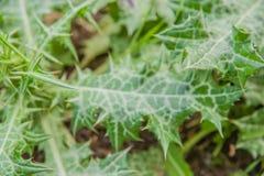 Ortiga - hojas espinosas en la naturaleza imagenes de archivo