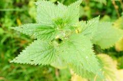 Ortiga verde Foto de archivo libre de regalías