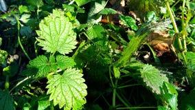 Ortiga verde en el bosque Fotos de archivo libres de regalías