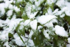 Ortiga y nieve Imagen de archivo
