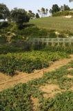 Orto, bello giardino con le verdure Fotografia Stock Libera da Diritti
