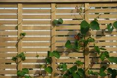 Orto: color scarlatto del recinto dei fagioli rampicanti  Fotografia Stock Libera da Diritti