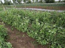 Orto con coltivazione delle piante di pisello in fioritura Fotografie Stock Libere da Diritti