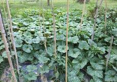 Orto con la coltivazione delle verdure e della frutta pl Immagine Stock Libera da Diritti