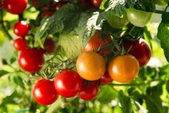 Orto con le piante dei pomodori rossi Fotografia Stock