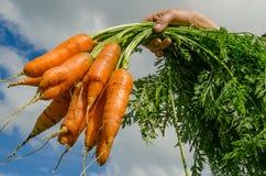 Orto delle carote Immagine Stock Libera da Diritti