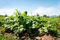 Orto di agricoltura Fotografia Stock