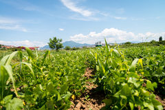 Orto di agricoltura Immagine Stock Libera da Diritti
