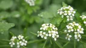 Orto domestico del crescione, piccolo primo piano bianco dei fiori della pianta 4k, movimento lento stock footage