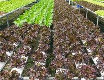 Orto idroponico organico Fotografia Stock