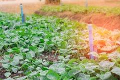 Orto organico, primavera ed il sole di mattina Fotografia Stock