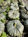 Orto organico: raccolta del raccolto della zucca Fotografia Stock Libera da Diritti