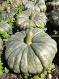 Orto organico: raccolta del raccolto della zucca Fotografia Stock