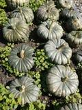 Orto organico: raccolto della zucca Fotografie Stock Libere da Diritti