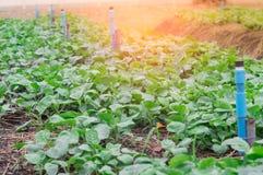 Orto organico, spruzzatore ed il sole di mattina Immagine Stock Libera da Diritti