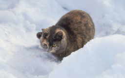 Тortoiseshell cat lies on the snow Stock Images