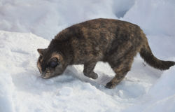 Тortoiseshell cat walks on the snow and sniffs Stock Photography
