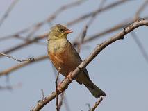 Ortolan Bunting on branch Stock Images
