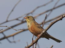 Ortolan Bunting on branch Stock Photo
