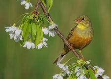 Ortolan Bunting - Emberiza hortulana - male. On a blooming cherry royalty free stock photography