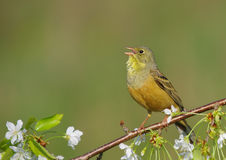 Ortolan Bunting - Emberiza hortulana - male Royalty Free Stock Photo