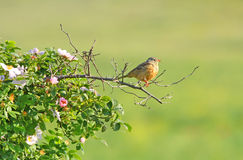 Ortolan Bunting standing on bush Royalty Free Stock Photo