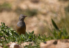 Ortolan Looking Right (Emberiza hortulana). An ortolan is looking right royalty free stock photos