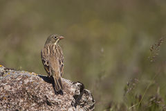 Ortolan Looking Right (Emberiza hortulan. An ortolan is looking right on a piece of rock Stock Image