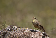 Ortolan Singing (Emberiza hortulana). An ortolan is singing on top of a rock royalty free stock image