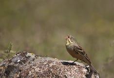 Ortolan Singing (Emberiza hortulana). An ortolan is singing on top of a rock Royalty Free Stock Image