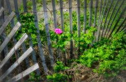 Orton effect pink rugosa rose. Against snow fence in field alone Stock Photos