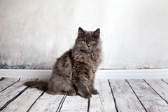 Ortrait Of Longhair Persian Cat Royalty Free Stock Images