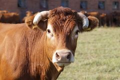 Ortrait in the pasture: limousine variety cow against the backd royalty free stock photo