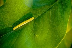 Oruga amarilla en la hoja verde en luz del sol de la tarde fotos de archivo