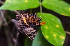 Oruga birdwing de oro de la mariposa Fotografía de archivo