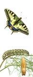 Oruga, crisálidas, y mariposa del swallowtail imagen de archivo libre de regalías