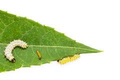 Oruga de la generación de la polilla de seda del eri Foto de archivo libre de regalías