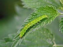Oruga de la mariposa. Fotos de archivo libres de regalías