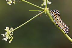 Oruga de la mariposa de la cola del trago Fotografía de archivo libre de regalías