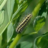 Oruga de la mariposa de la familia Zygaenidae. Imagen de archivo libre de regalías