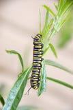 Oruga de la mariposa de monarca Foto de archivo libre de regalías