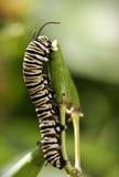Oruga de la mariposa de monarca Foto de archivo