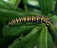 Oruga de la mariposa de monarca Imagen de archivo