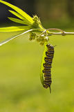Oruga de la mariposa de monarca Imágenes de archivo libres de regalías