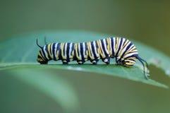 Oruga de la mariposa de monarca, plexippus del Danaus Imagen de archivo